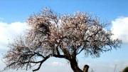 mandelblüte
