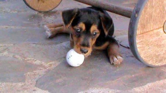 welpen-golfball