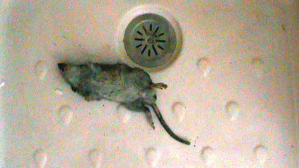 ratte im bad