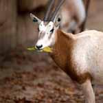 saebelantilope